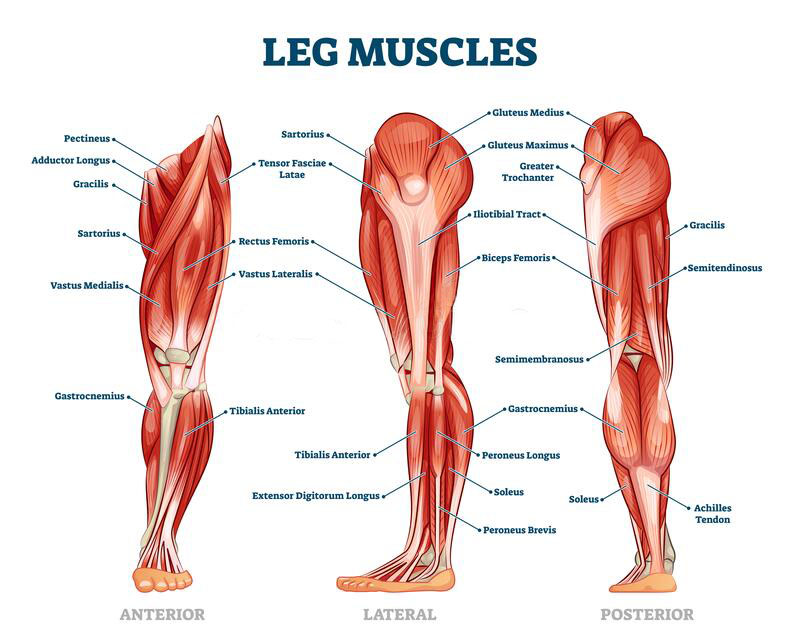 Leg Muscles Involved In SUP